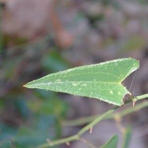 Photographie n°217269 du taxon Smilax aspera L. [1753]