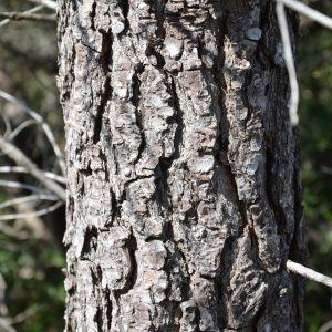 Photographie n°217292 du taxon Pinus halepensis Mill. [1768]