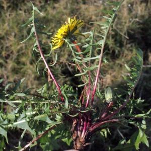 Taraxacum rubicundum (Dahlst.) Dahlst. (Pissenlit)