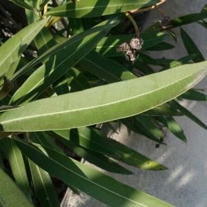 Photographie n°217470 du taxon Nerium oleander L. [1753]