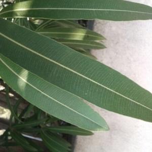 Photographie n°217471 du taxon Nerium oleander L. [1753]
