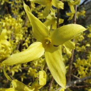 Forsythia x intermedia Zabel (Forythia de Paris)
