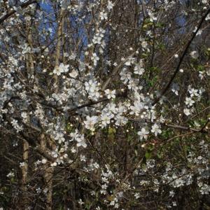 Photographie n°217496 du taxon Prunus cerasifera Ehrh.