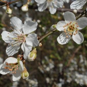 Photographie n°217497 du taxon Prunus cerasifera Ehrh.
