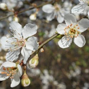 Photographie n°217498 du taxon Prunus cerasifera Ehrh.