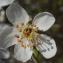 Liliane Roubaudi - Prunus cerasifera Ehrh.