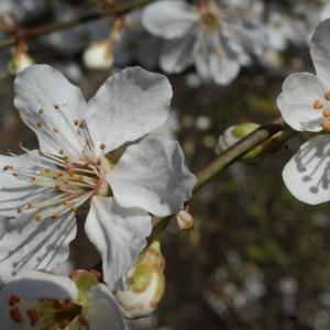 Photographie n°217500 du taxon Prunus cerasifera Ehrh.