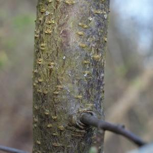 Photographie n°217505 du taxon Prunus cerasifera Ehrh.