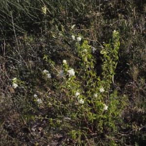 Photographie n°217698 du taxon Prunus mahaleb L.