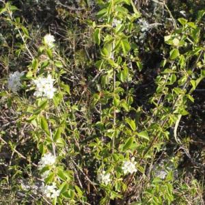 Photographie n°217699 du taxon Prunus mahaleb L.