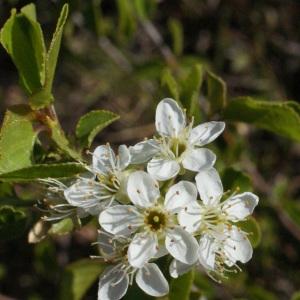 Photographie n°217700 du taxon Prunus mahaleb L.