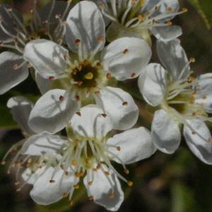 Photographie n°217701 du taxon Prunus mahaleb L.