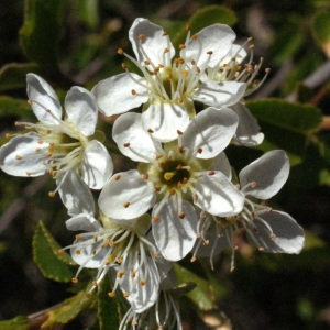 Photographie n°217702 du taxon Prunus mahaleb L.