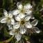 Liliane Roubaudi - Prunus mahaleb L. [1753]