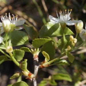 Photographie n°217703 du taxon Prunus mahaleb L.
