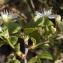 Liliane Roubaudi - Prunus mahaleb L.