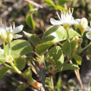 Photographie n°217704 du taxon Prunus mahaleb L.
