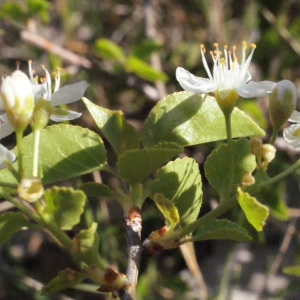 Photographie n°217705 du taxon Prunus mahaleb L.