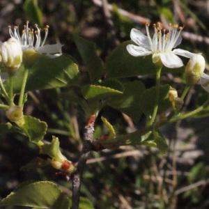 Photographie n°217706 du taxon Prunus mahaleb L.