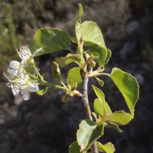 Photographie n°217707 du taxon Prunus mahaleb L.