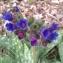 Pauline Guillaumeau - Pulmonaria longifolia (Bastard) Boreau