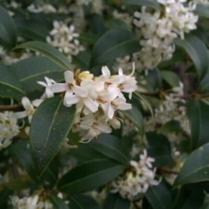 Osmanthus x burkwoodii (Burkwood. & Skipw.) P.S.Green