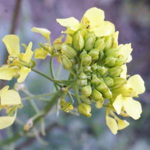 Sinapis alba L. (Moutarde blanche)