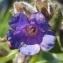 Jean-Claude Echardour - Pulmonaria longifolia (Bastard) Boreau [1857]