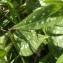 Jean-Claude Echardour - Pulmonaria longifolia (Bastard) Boreau