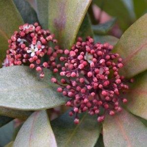 Skimmia japonica Thunb. (Skimmia du Japon)