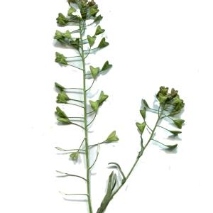 Photographie n°218170 du taxon Capsella bursa-pastoris (L.) Medik.