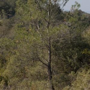 Photographie n°218182 du taxon Pinus halepensis Mill. [1768]