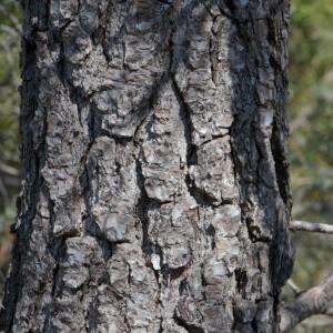 Photographie n°218188 du taxon Pinus halepensis Mill. [1768]