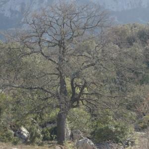 Photographie n°218312 du taxon Quercus pubescens Willd. [1805]