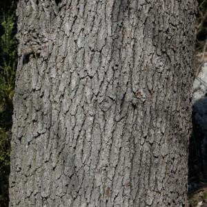 Photographie n°218315 du taxon Quercus pubescens Willd. [1805]
