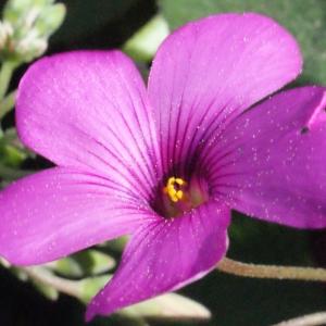 Oxalis articulata Savigny (Oxalide articulée)