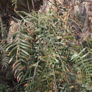 Photographie n°218336 du taxon Schinus molle L.