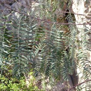 Photographie n°218338 du taxon Schinus molle L.