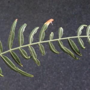 Photographie n°218345 du taxon Schinus molle L.