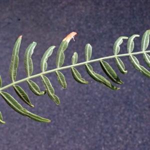 Photographie n°218346 du taxon Schinus molle L.