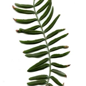 Photographie n°218352 du taxon Schinus molle L.