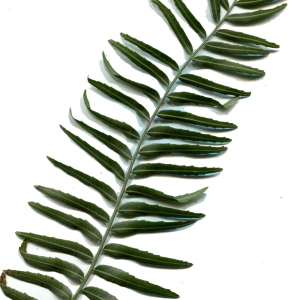 Photographie n°218353 du taxon Schinus molle L.