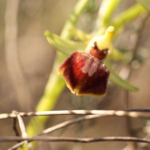 Photographie n°218363 du taxon Ophrys aranifera Huds. [1778]