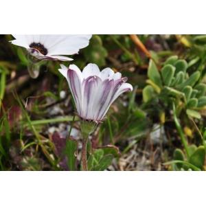 Dimorphotheca pluvialis (L.) Moench (Souci du Cap)