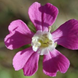 Silene conica L. [1753] (Silène conique)