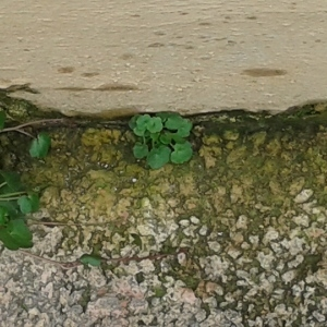 Photographie n°218524 du taxon Cymbalaire des murailles