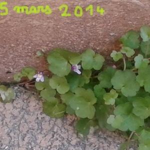 Photographie n°218526 du taxon Cymbalaire des murailles