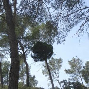 Photographie n°218867 du taxon Pinus halepensis Mill. [1768]