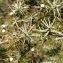 Géraldine Lett - Juniperus communis L. [1753]