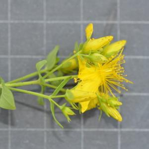 Photographie n°219645 du taxon Hypericum perforatum L.